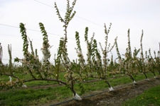 Cherry trees trained in the UFO system. Photo: Washington State University.