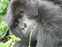 WSU students and their project leaders climbed 3.5 hours to see Mountain Gorillas.