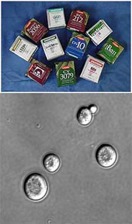 Partnering with the commercial yeast producer Lallemand, WSU food scientist Charlie Edwards and his colleagues formulated strains of yeast that can stand up to high-sugar grape musts. Top: Lallemand products. Bottom: yeast cells.