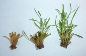 Dead, damaged, and healthy crowns of winter wheat. (Timothy Smith, WSU Lind Dryland Research Station)