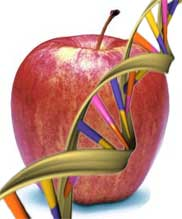 WSU and UW are partnering to sequence the genome of the Golden Delicious apple.