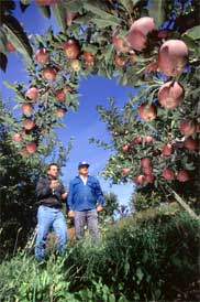 Researchers and growers are working together to transition to more environmentally friendly methods apple pest management.