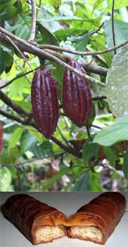 """"""" All I really need is love, but a little chocolate now and then doesn't hurt,"""" said Peanuts' Lucy Van Pelt in one of Charles Schultz's comics. WSU is partnering with other institutions to keep cacao safe and productive."""