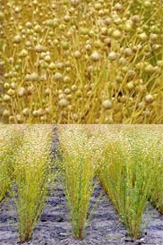 """Camelina sativa is the scientific name for """"gold-of-pleasure"""" or """"large-seed false flax."""" In camelina's case, """"false"""" is being used in the sense of """"dwarf,"""" as is sometimes the case with common names of plants. Camelina is a member of the Brassicaceae family, which also includes mustard, cabbage, rapeseed, broccoli, cauliflower, kale, and brussels sprouts."""