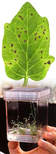 A diseased tomato leaf and, bottom, tissue culture of Arabidopsis, a model plant genome.