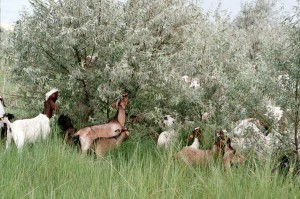 Goats graze on a Russian olive tree at the Barker Ranch near West Richland. Washington State University faculty, representatives from several federal agencies, private landowners and a contract grazer are participating in a three year study observing the effects of grazing by battle, sheep and goats on targeted weeds. (Photo by Craig Madsen, Healing Hooves LLC).