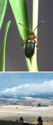 Top: cereal leaf beetle and, bottom, a vista in Kittitas County