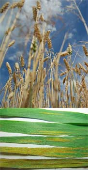 WSU release 2 new wheat varieties, both of which have excellent stripe rust resistance.