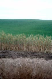 Threatened by tillage and erosion, a thin dark layer of top soil sustains the planet