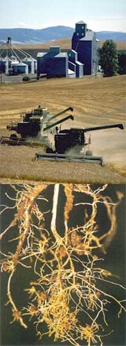 Bottom: wheat root lesions caused by nematodes.