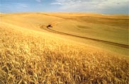 Wheat varieties developed at WSU continue to dominate Washington acreage.
