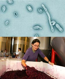 Without the proper precautions, Brettanomyces outbreaks may occur during the winemaking process.