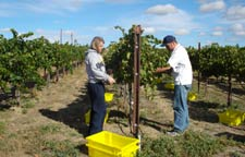 WSU viticulture and enology students harvest grapes for their wine microbiology and processing class.