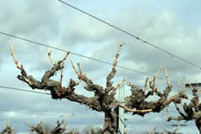 Keller and Mills win best-paper award for research on how to approach grape vine pruning after cold damage has occurred.
