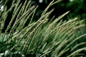 Perennial wheat. Click image to for a high resolution version.