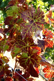 Typical symptoms of grapevine leafroll disease in red varietals include reddish, fall-colored leaves.