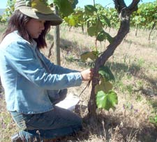 "Doctoral student Suphasuk ""Bird"" Pradubsuck measures a Corcord grape vine prior to excavating it. Once excavated, she analyzed the plant's parts to determine Concord's micronutrient requirements."