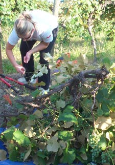 """Kami Laffey, a recently graduated Prosser High School student who worked with the WSU viticulture and enology program last summer, assists Suphasuk """"Bird"""" Pradubsuck in the excavation of a Concord grape vine."""