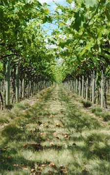 This article is adapted from one by Gary Ballard, manager of the NorthWest Grape Foundation Service.