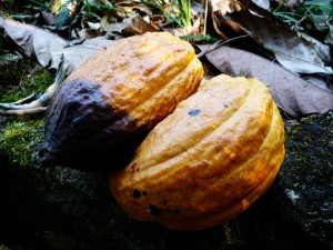 Ripe cacao pods ready for processing or consumption. Photo courtesy Wikimedia Commons/Rigues/Creative Commons.