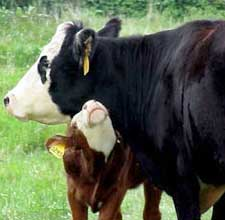 """WSU Animal Sciences presents """"Beefing Up the Future"""" Oct. 22 and 23."""