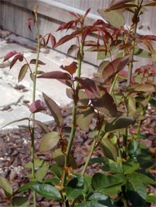 Juvenile anthocyanin in new rose growth. The reddish hue disappears as the new leaves mature. Photo courtesy Wikimedia Commons/GNU Free Documentation licensed.