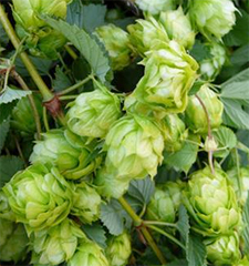 The acids used to flavor beer are found in the centers of these hop cones.