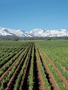 A vineyard in the Mendoza region of Argentina.