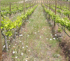A beautiful vineyard attracts tourists... and beneficial insects.