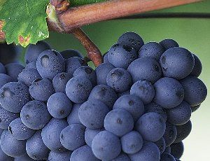 The Washington wine industry has grown to be a major contributor to the state's economy.