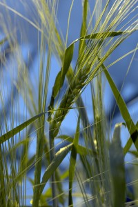 Barley. Click image for high-resolution version. Photo credit: Brian Clark/Washington State University.
