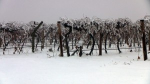 Freezing your buds off? Find out, and learn how to manage cold damage in vineyards, with new tools from WSU's Viticulture Extension team. Photo: Brian Clark/WSU.