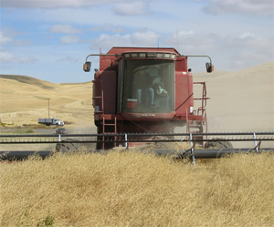 For over 10 years, Tom Conrad has successfully grown spring canola in place of chemical fallow in a 3-year rotation.