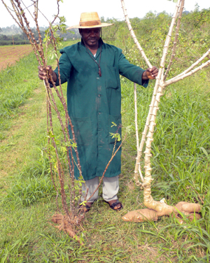 Cassava mosaic is a severe disease impacting sustainability of cassava production in sub-Saharan Africa. Cassava affected with the disease (left) produce severely deformed leaves with mosaic symptoms and the plants produce a few small or no tubers when compared to a healthy plant (right).