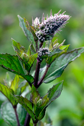 Peppermint growing in the Pacific Northwest.