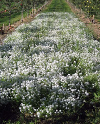 WSU researchers are giving apple orchards a sweet treatment... Sweet Alyssum, that is. Here, the flowers are grown in the lane between rows of trees in an effort to attract syrphids.