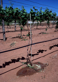 Drip irrigation system in a vineyard.