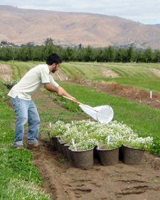 Surfing for syrphids: graduate student Lessando Gontijo nets syrphids to quantify their attraction to Sweet Alyssum.