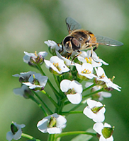 Syrphid on alyssum