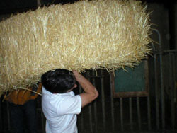 Hay bale toss at the 2006 Ag Olympics, sponsored by WSU's Dairy Club; photo courtesy Dairy Club