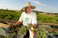 Brad Jaekel, manager of the WSU Organic Farm, harvesting greens for a community-supported ag shareholder.