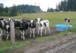 Holsteins at the Styger Family Dairy Farm