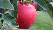 Red apple - click for high-resolution version.