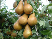 Bosc pears - click for high-resolution version.