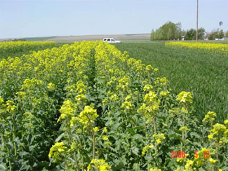 Replicated plots of winter canola and winter wheat near Ritzville in mid May 2006.