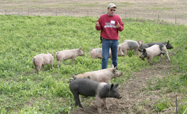 "Fallow-fed hogs till the soil by rooting and contribute ""green manure"" to the health of the land on the Zakarison Partnership farm."