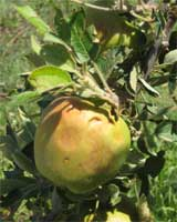 Hail damage to a Sunnyside, Wash., apple crop on July 20. Better prediction of extreme weather events, such as the severe thunderstorm that resulted in the hail damage, is the subject of a study by AgWeatherNet. Photo courtesy AgWeatherNet.