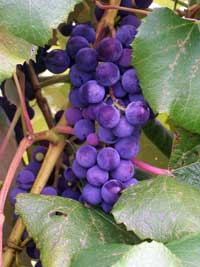 A cluster of Concord grapes.
