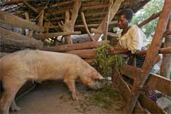 Rhoda Mang'yana of Malawi feeds her pigs maize bran, gliricidia branches and weeds that grow in the fields. She sells the pigs to pay her grandchildren's school fees. Click on image to download high resolution version. ©Jim Richardson
