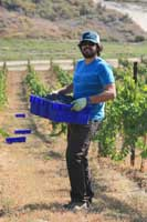 A WSU student picking grapes in early October. Photo: Thomas Henick-Kling/WSU.